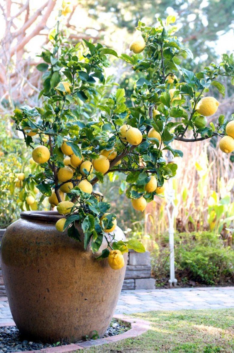 комнатный лимон уход